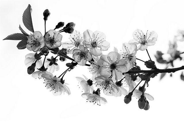 Sakura black