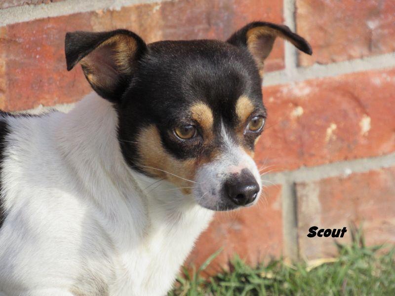 Rat Terrier Dog For Adoption In Oklahoma City Ok Adn 407313 On