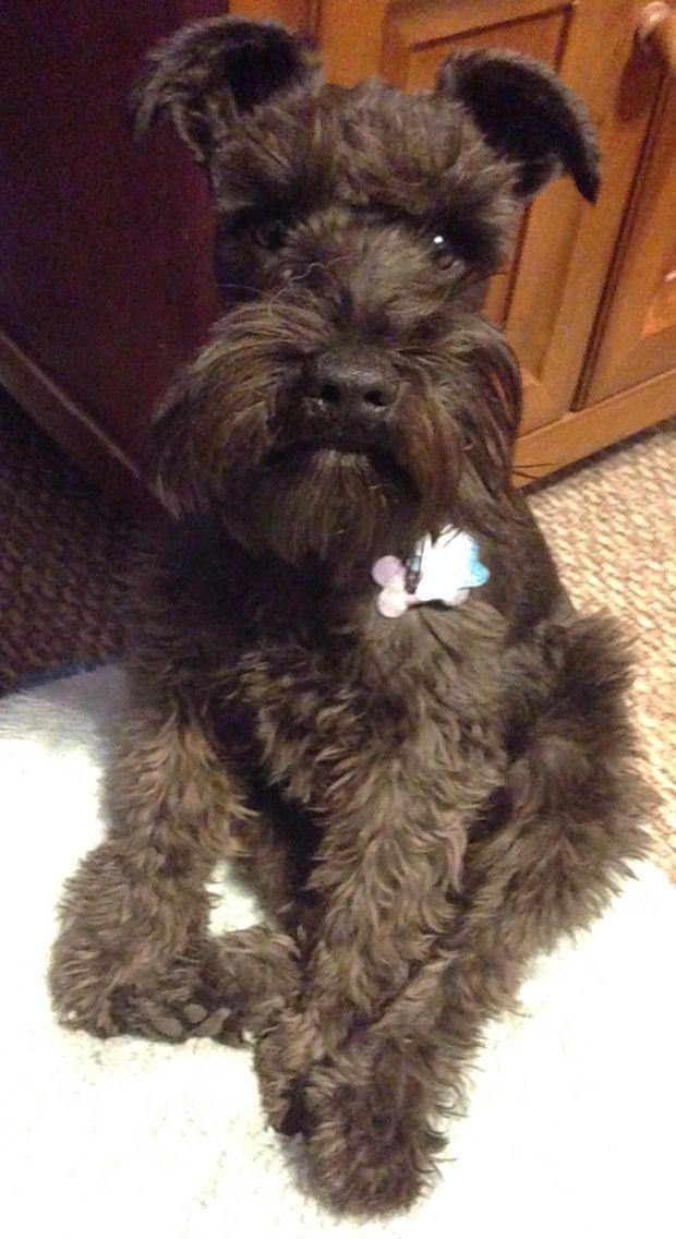 My sweet little schnauzer puppy Axle.