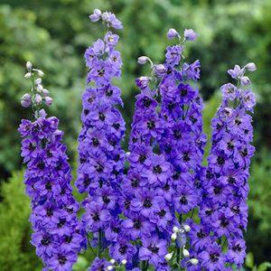 Pacific Giant Blue Jay Delphinium Seeds Delphinium Delphinium Grandiflorum Plants