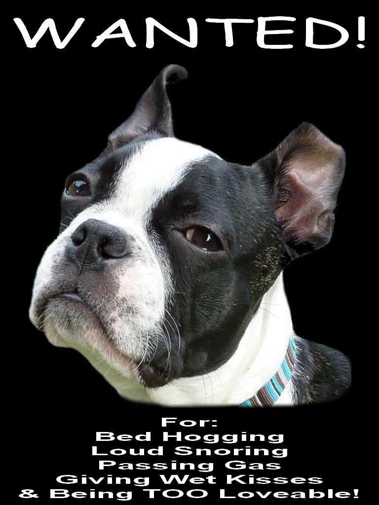 BOSTON TERRIER Wanted Poster FRIDGE MAGNET New DOG