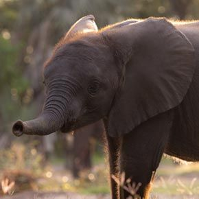 """Warona"" born on 17 Dec 2011 to one of Abu Camp's leading elephants ""Shireni"" is thriving"