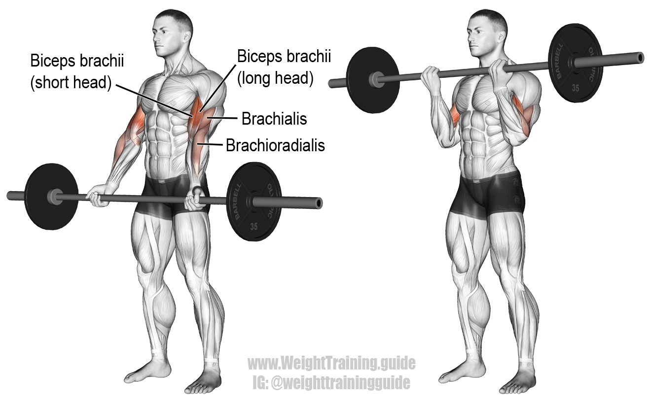 Barbell curl. An isolation exercise. Target muscle: Biceps ...