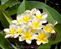 Vriksha Sasya Lata Deva Ganneru Puvvu Plumeria Acutifolia Plumeria Frangipani Flowers