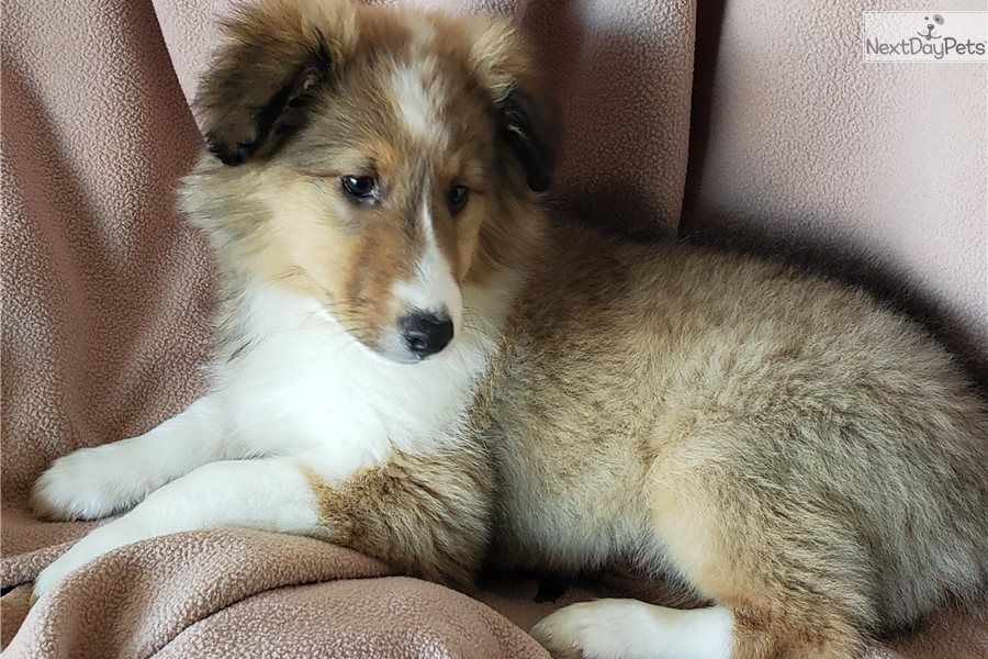 Shetland Sheepdog Sheltie Puppy For Sale Near San Diego