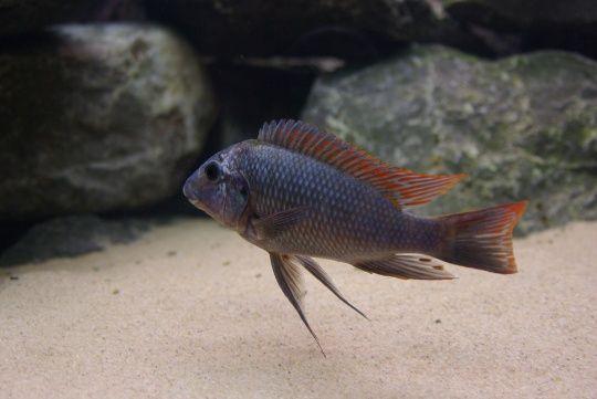 Картинки по запросу Petrochromis spec. 'red fin Zongwe'
