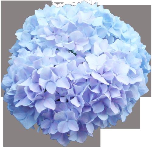 Transparent Flowers Baby Blue Hydrangea Hydrangea Transparent Flowers Blue Flower Png Jenny Flowers