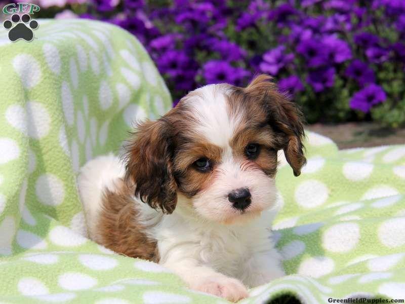 Albert Cavachon Puppy For Sale In Gordonville Pa Cavachon Puppies Cavachon Puppies For Sale