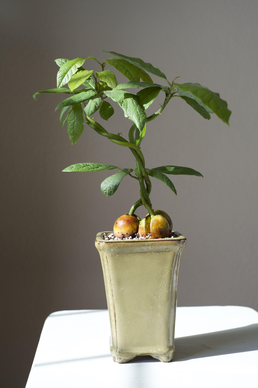 File Php 3264 4896 Avocado Plant Bonsai Plants Plants