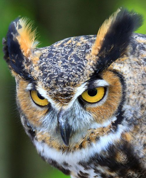 Portrait / Great Horned Owl (Bubo virginianus) by Lifeinthenorthwoods.com on Flickr.