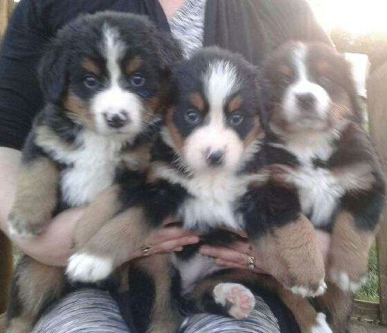 Litter Of 7 Bernese Mountain Dog Puppies For Sale In Turbotville Pa Adn 34866 On Puppyfinder Com Gender Male S And Bernese Mountain Dog Mountain Dogs Dogs