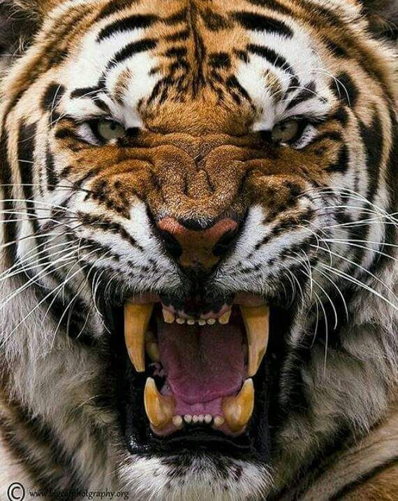 Image result for Tiger and his eyes photos in the wild