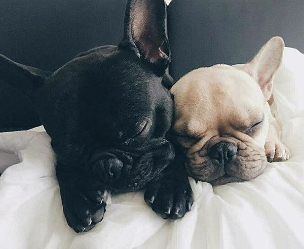 Go Away We Re Busy Doing Nothing Sleeping French Bulldogs