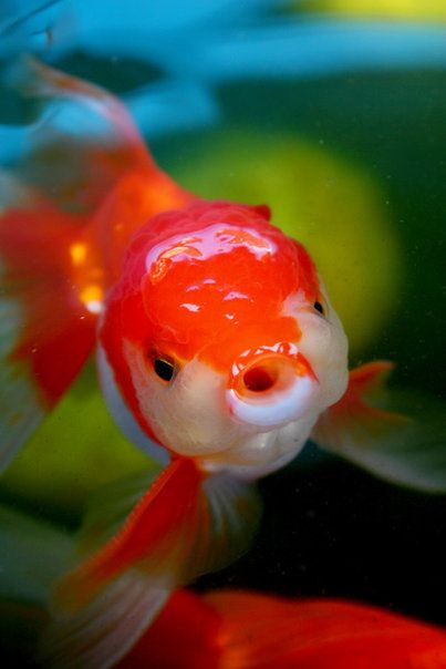 Goldfish acuarios pinterest acuario peces de for Goldfish en estanque