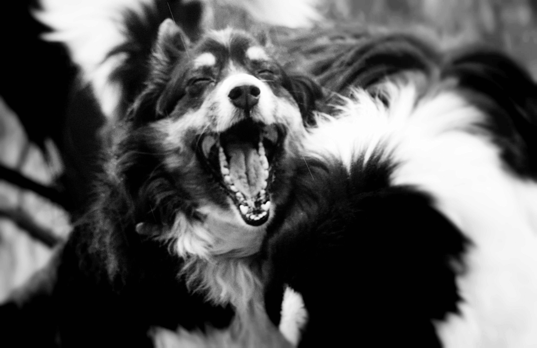 """Happy""   #dog #dogs #australianshepherd #puppylove #love #happy #happiness #blackandwhite #dogphotography #petphotography #amazing #summer #winter #bordercollie #puppy #cute #adorable #joy"