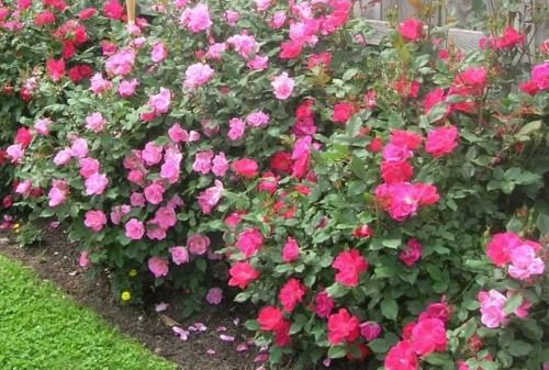 Roses In Garden: Caring For Knockout Roses, Knock