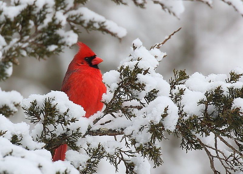 Pin by annie on cardinals bird bird feathers winter colors - Pictures of cardinals in snow ...