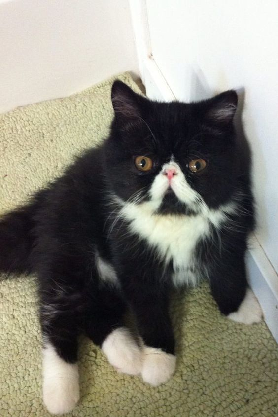 A Cat With A Black And White Pattern Fur That Resembles A Tuxedo Is Called As A Tuxedo Cat This Cat Is Not A Particular Breed Of Cats B Chien Chat