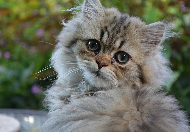Cuanto Vive Un Gato Persa Jpg 750 520 Razas De Gatos Gato Furry Gato Persa