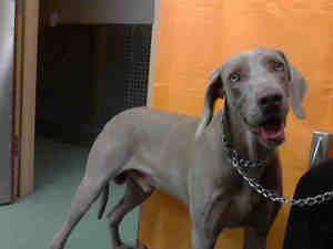 A540932 Urgent Devore Is An Adoptable Weimaraner Dog In San