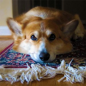 How To Get Dog Smell Out Of Area Rug Dog Smells Pet
