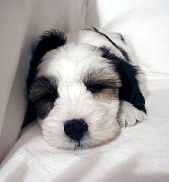 Tibetan Terriers Small Dog Place Tibetan Terrier Terrier Puppy Dog Breeds