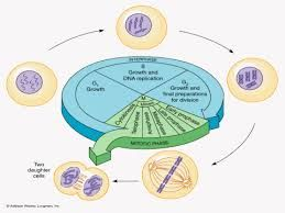 Image result for cell cycle interphase g1 s g2 mitotic phase image result for cell cycle interphase g1 s g2 mitotic phase ccuart Image collections