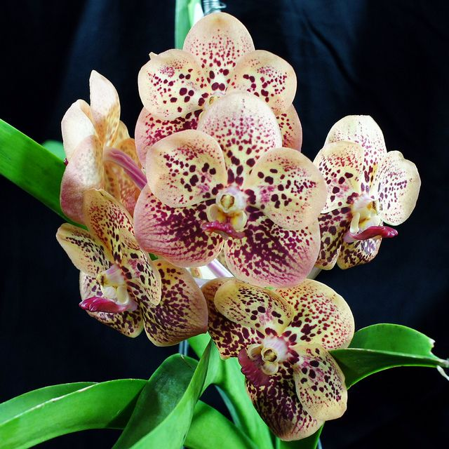 vanda chindavat | Vanda Chindavat x Ascocenda Betty May Steel