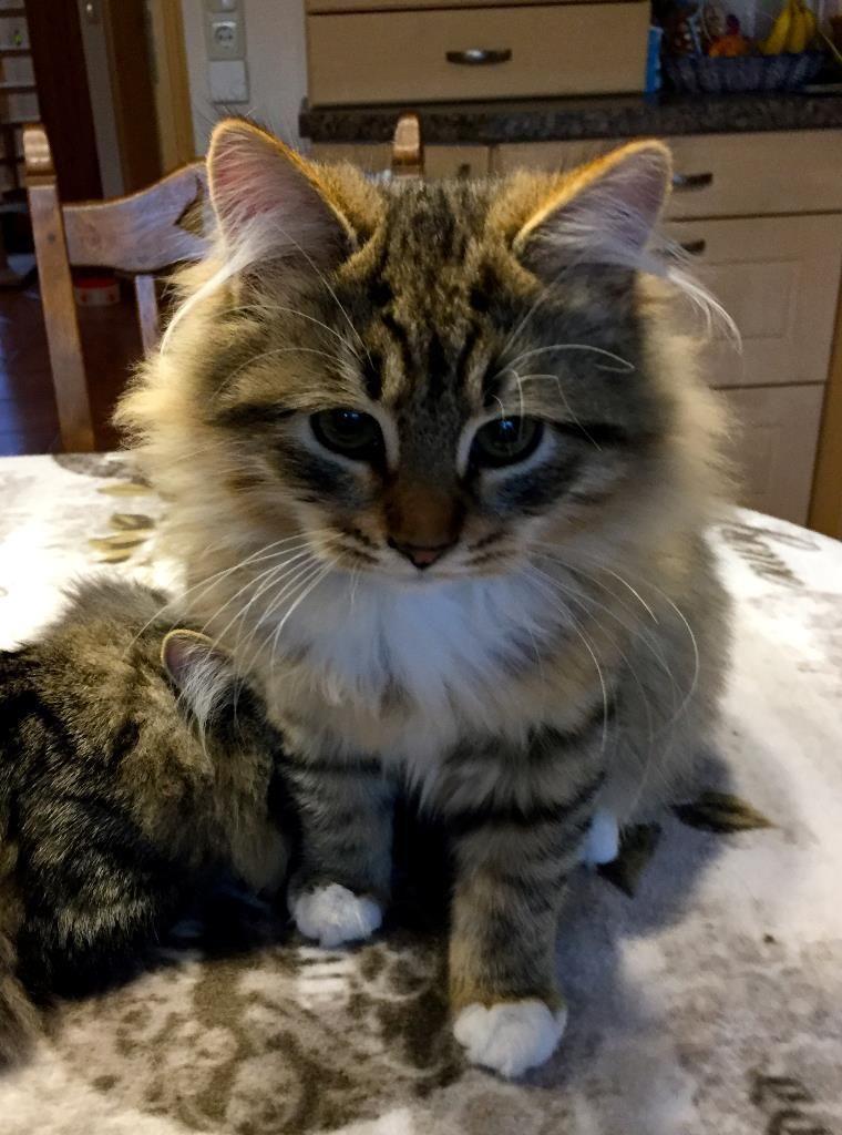 Wir Sind Wunderschone Sibirische Katzen In Wildfarben Und Neva
