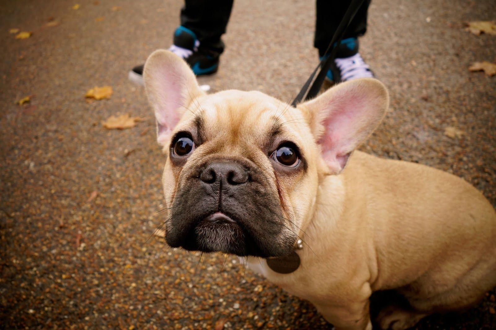 Foxy Boston terrier pug, Puppy love, Foxy