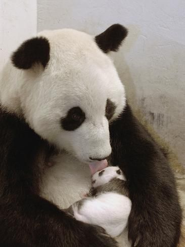 Giant Panda (Ailuropoda Melanoleuca) with Cub, Wolong Nature Reserve, China Photographic Print by Katherine Feng | Art.com
