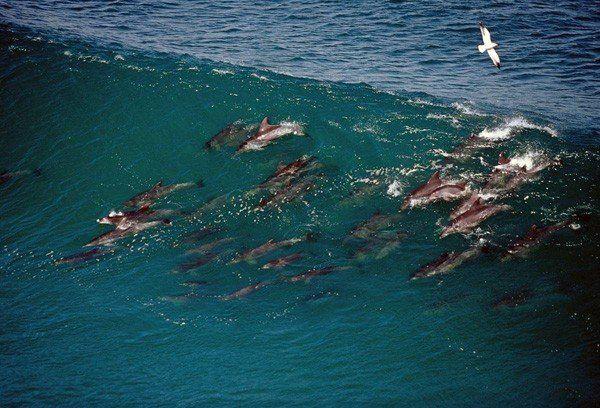 Dolphin surfing \u2014 funny dolphins Funny Animals Pinterest - marine biologist job description