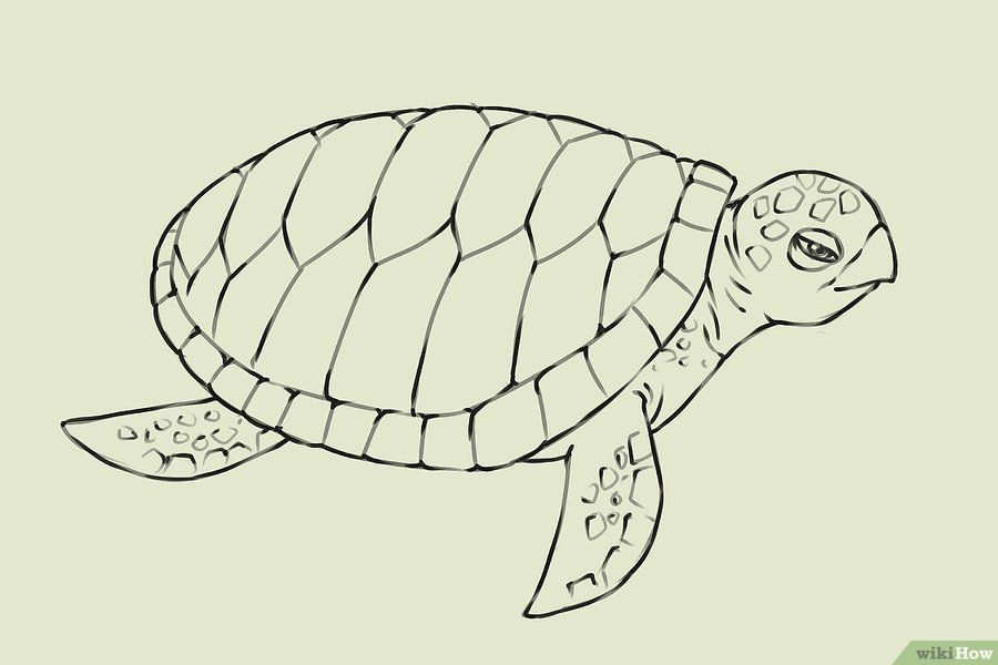 how to draw a hawksbill turtle step by step