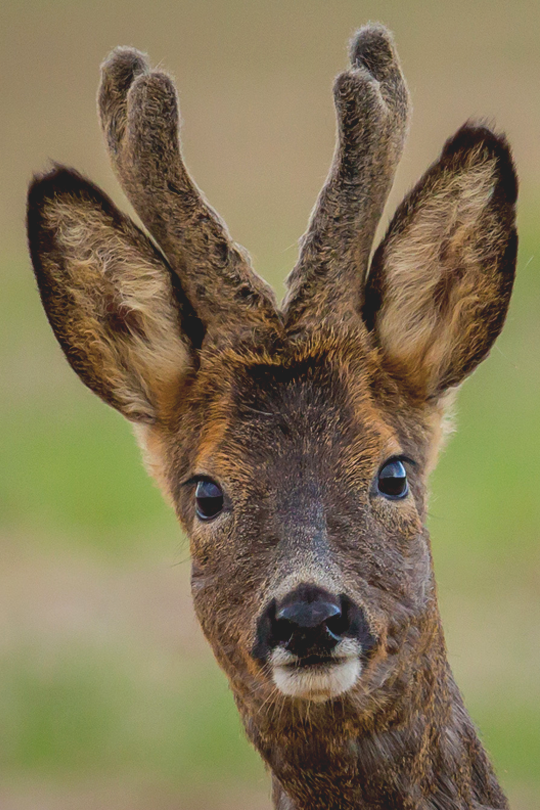 Roe Buck ... I will never understand how anybody can look into eyes like these and feel heroic when they shot the life out of it ....