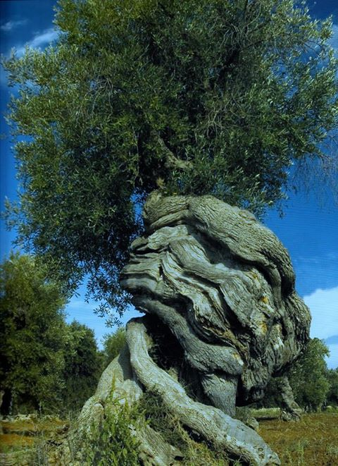 -m----Olive tree, century old.-