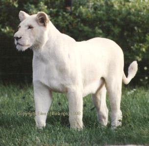 صور نادرة صور حيوانات بيضاء كالثلج منتديات عبير Cat Species Wild Cats Raining Cats And Dogs