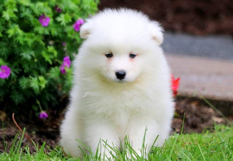 Ginger Samoyed Puppies For Sale Puppies Samoyed