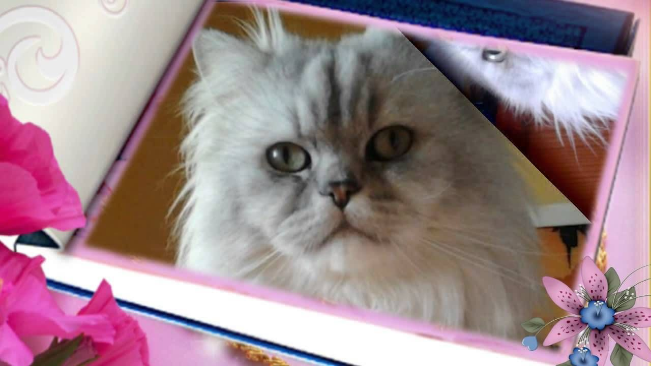 Meow,my #birthday #video  #HappyBirthday #buoncompleanno #catvideos #videogatti #persiancats #gattipersiani