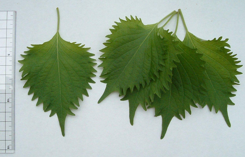 Green Shiso Seed (Green Perilla) Perilla Seeds (Perilla Frutescens) Green beefsteak plant, beefsteak leaf, purple mint, Gee So, Zi Su, Shiso, Ao Shiso.