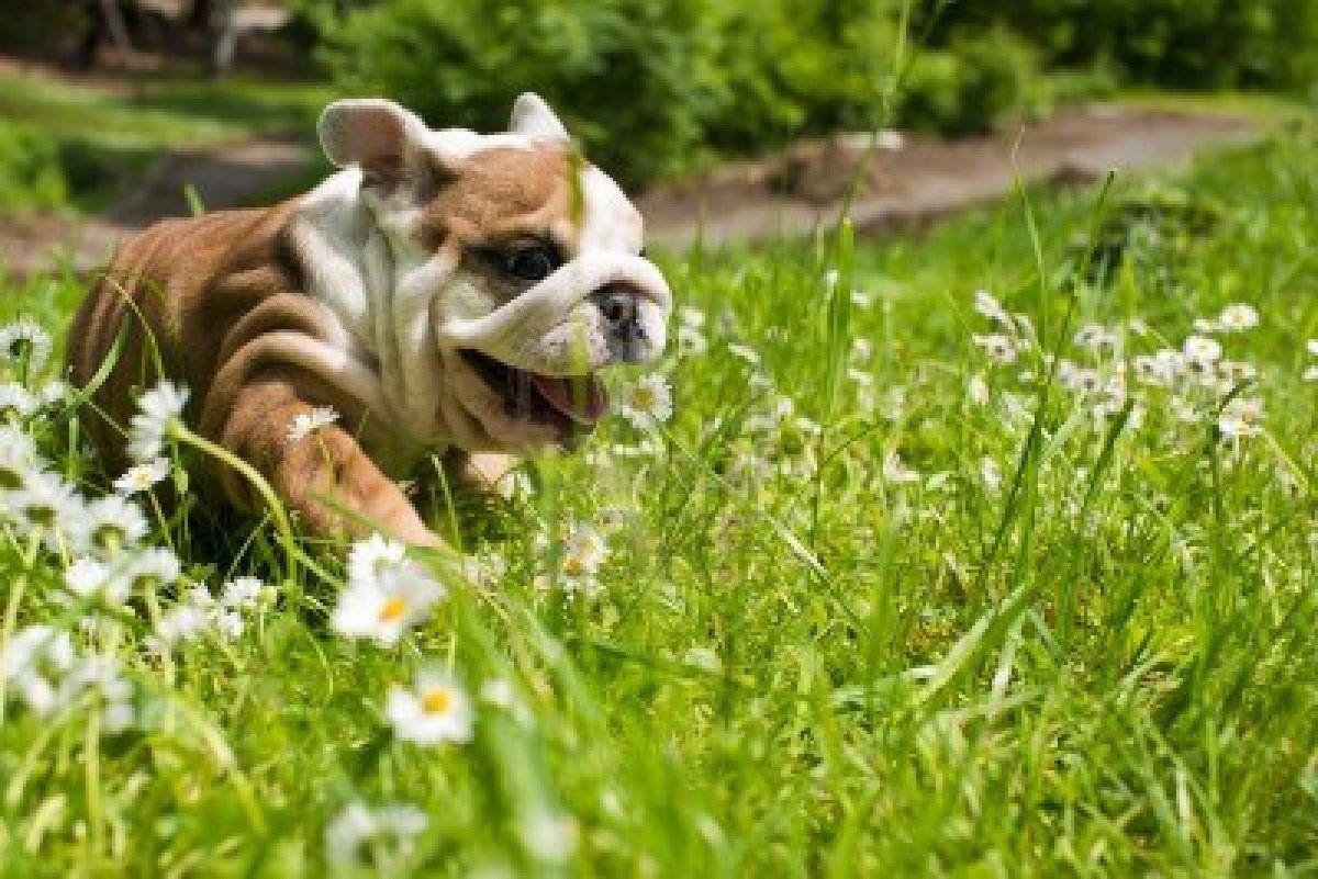 Stock Photo English Bulldog Puppy Bulldog English Bulldog Dog