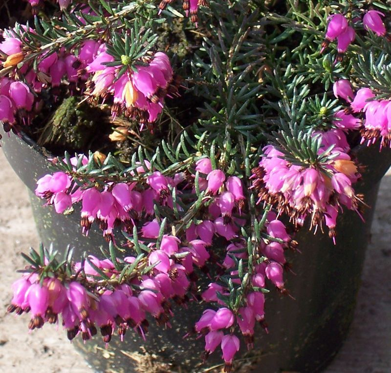 Buy Erica Carnea Atrorubra Winter Heath Heather In The Uk Pink Perennials E Flowers Perfect Plants