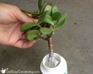 Pin On Succelent Plants