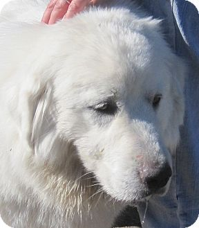 9 17 14 Trinidad Co Great Pyrenees Mix Meet Ana A Dog For