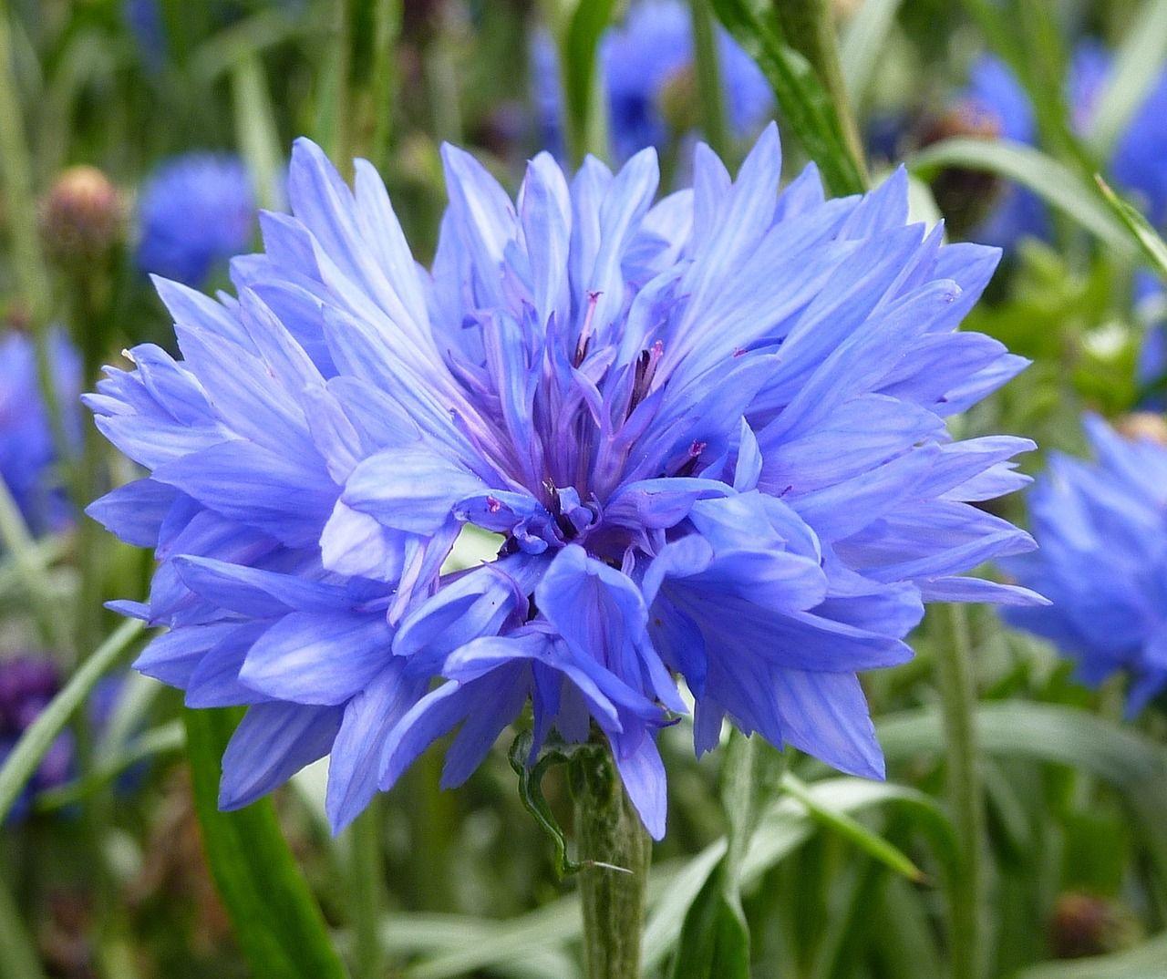 Free image on pixabay cornflower blue summer blue