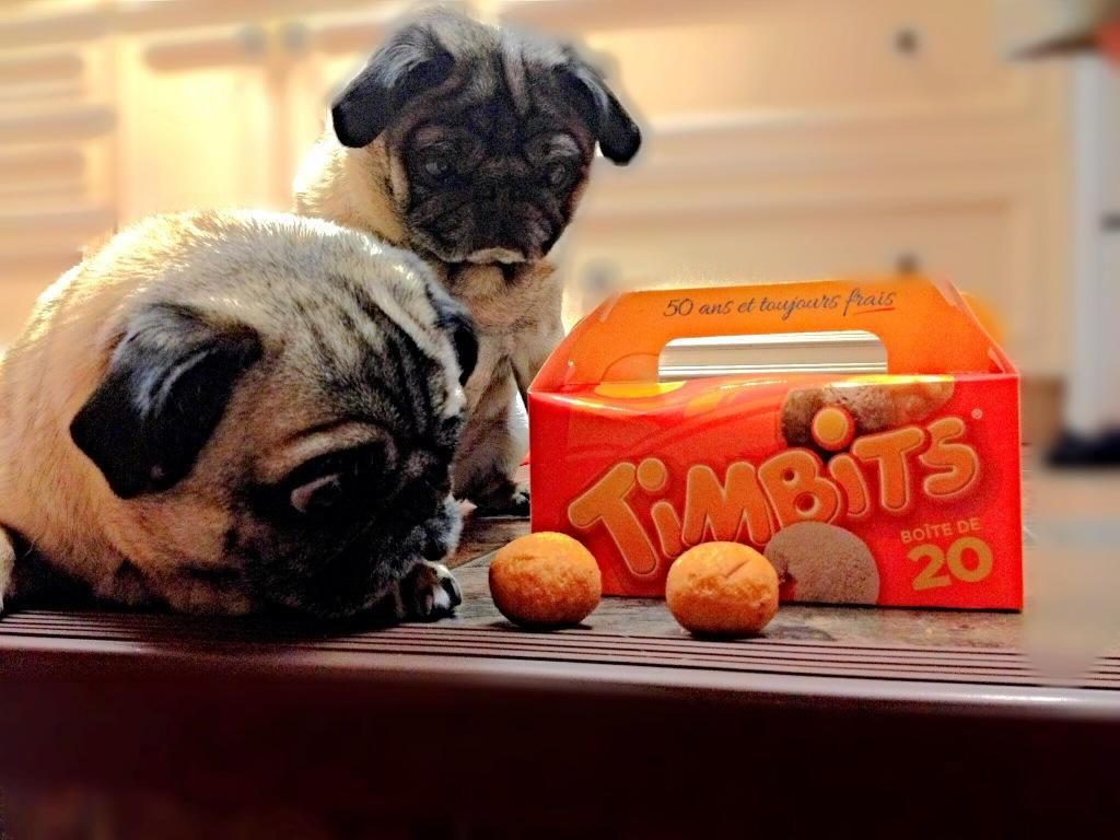 If I GOBBLE. Fast enough.... @TimHortons #pug #timbits #Stella #foodie pic.twitter.com/FoH9HyASe8