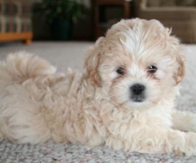 Tu Cava Poo Chon Shih Poo Shih Tzu Poodle Mix Shih Poo Puppies