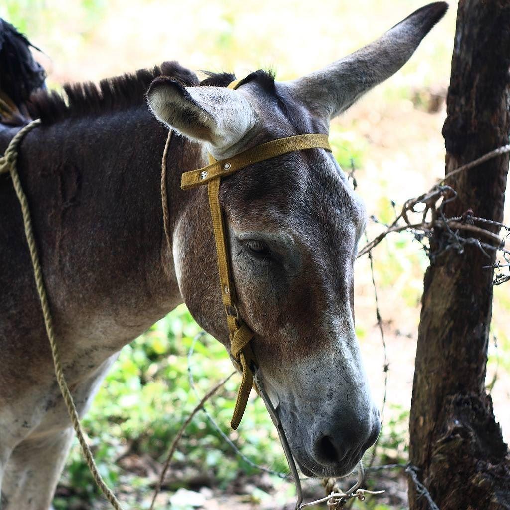"""""""Como un burro amarrado a la puerta de un baile"""" Simplemente llamó mi atención #Venezuela #Apure #burro #donkey #igersvenezuela #igersven #instahub #instamood"""