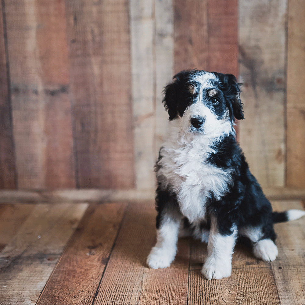Meet Beulah A Gorgeous Tri Color Swiss Doodle Doodle Puppy Puppies Cute Baby Animals