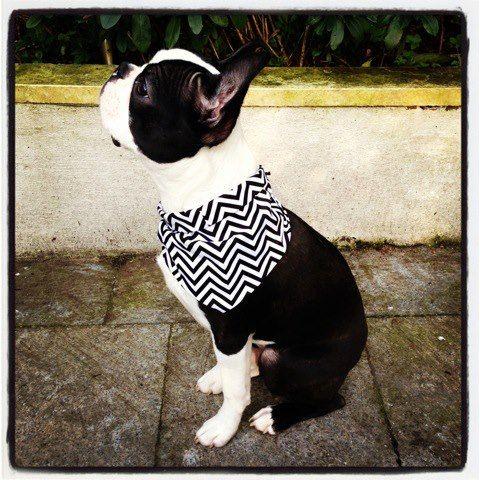 Basil the Little Boston Terrier from London, UK. http://www.bterrier.com/basil-the-little-boston-terrier-from-london-uk/ https://www.facebook.com/bterrierdogs