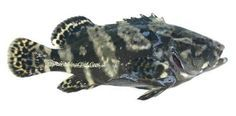 Kerapu Cantang Hybrid Of E Lanceolatus Giant Grouper Male And E Fuscoguttatus Brown Marbled Grouper Female Ikan Jenis Memancing